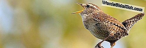 Vogelgeluiden Van Achterste Einde