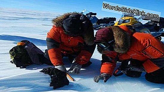Het Ooit Gevonden Walvisskelet Van Antarctica
