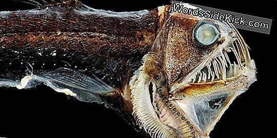 Nieuwe Sea Dragon-Soorten Pronkt Met Robijnrode Huid