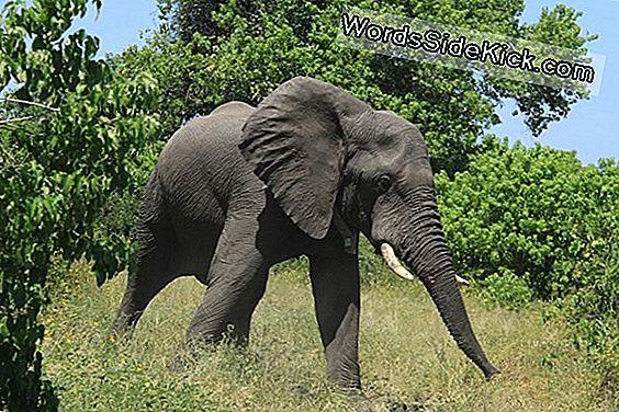 Elephant All-Nighters? Giant Beasts Slaap Maar 2 Uur