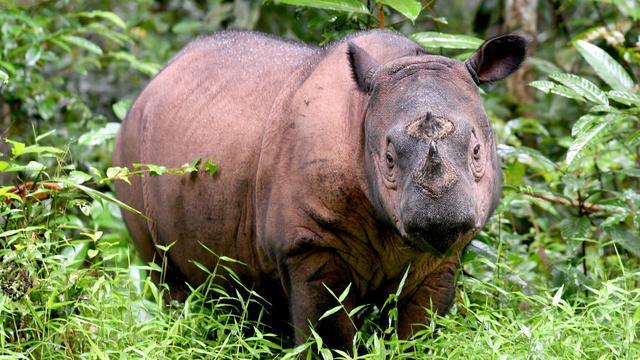 INDONESIA-CONSERVATION-RHINO